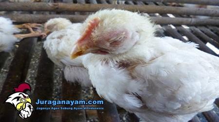Ayam Peliharaan