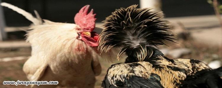 Sabung Ayam Menurunkan LEGEND