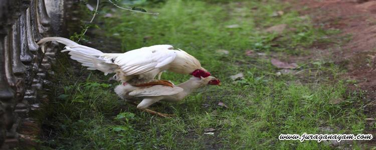 hubungan seks dengan ayam