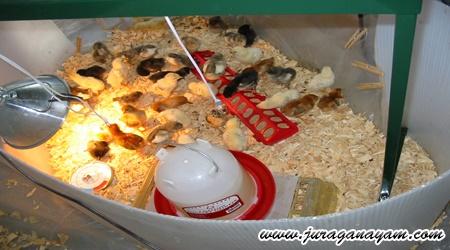 Usia Ayam Juga Menentukan Pakan