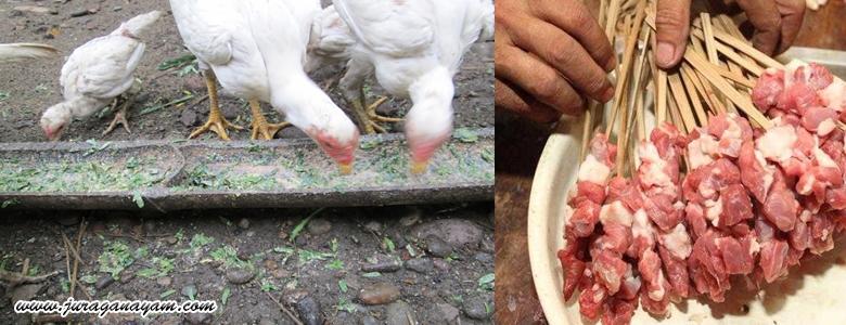 Berkhasiat Tinggi Untuk Doping Ayam