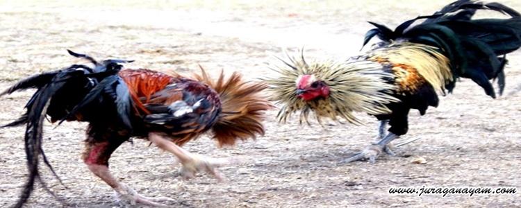Tahapan Dalam Pertandingan Sabung Ayam