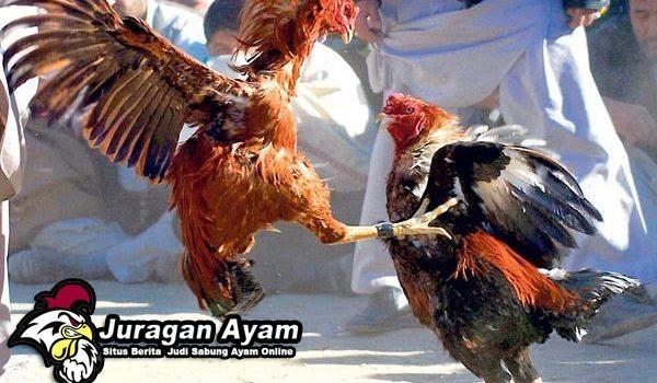 pertahanan ayam aduan, sabung ayam online, agen sabung ayam online, ayam tarung handal
