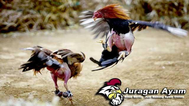 Sabung Ayam Suku Dayak Kalimantan