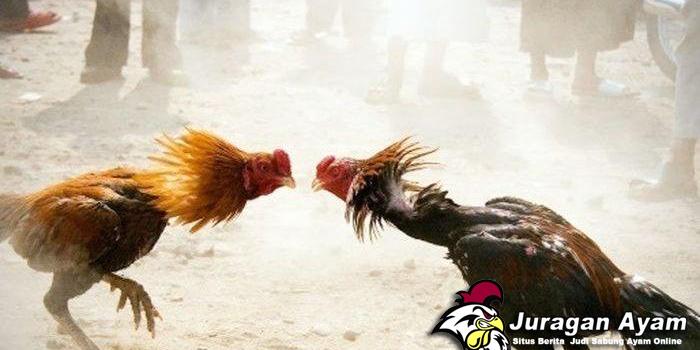 Cara Mengobati parah Ayam Aduan