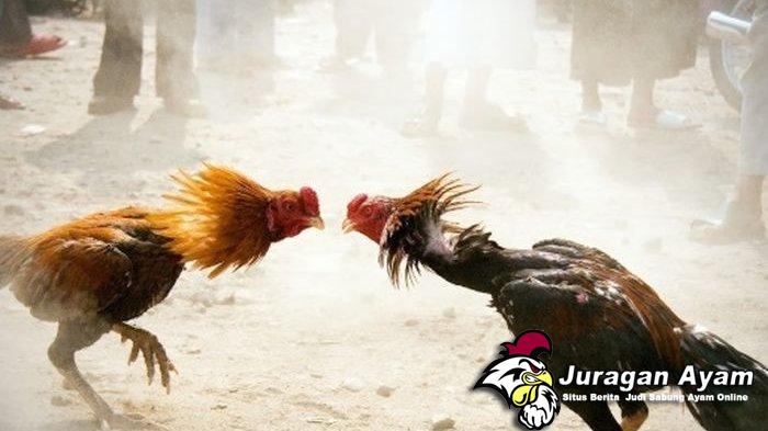 Beberapa Kelebihan Ayam Solah Dan Teknik Tarungnya