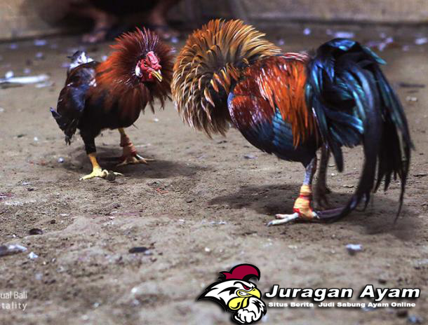 Tips Mengobati Ayam Aduan Turun Urat
