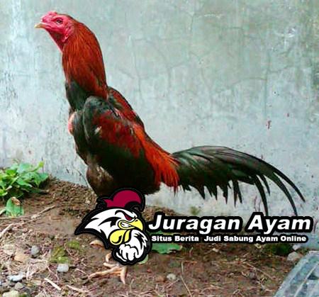 Penyebab Ayam Bangkok Tidak Percaya Diri