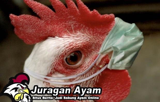 Beberapa Penyakit Ayam Bangkok Yang Dapat Disembuhkan