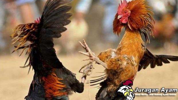 Beberapa Teknik Pukulan Mematikan Pada Ayam Aduan Bangkok