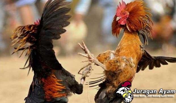 Kelebihan Dan Teknik Bertarung Ayam Bangkok Brakot