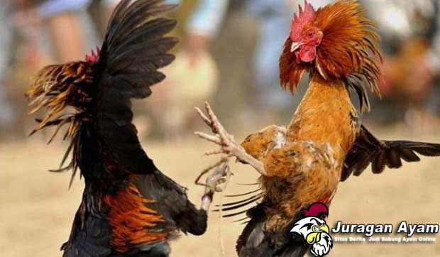 Manfaat Daging Kodok Sawah Untuk Ayam Bangkok Aduan