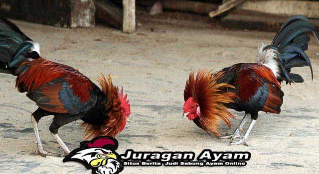 Cara Mengatasi Bau Kotoran Pada Ayam Dengan Mudah Dan Cepat