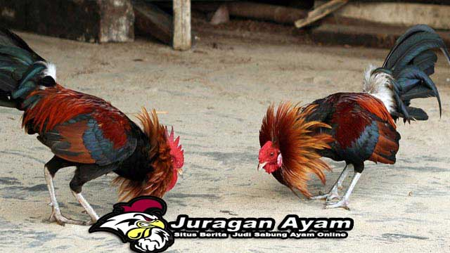 Tips Pemberian Pakan Ayam Bangkok Bertanding