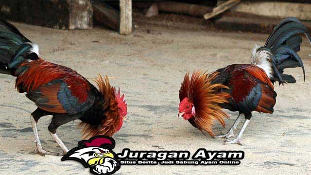 Beberapa Kesalahan Dalam Merawat Ayam Aduan