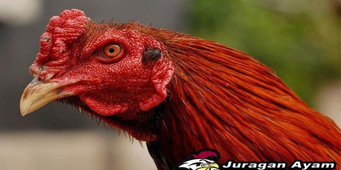 Cara Mengatasi Sariawan atau Goham pada ayam aduan