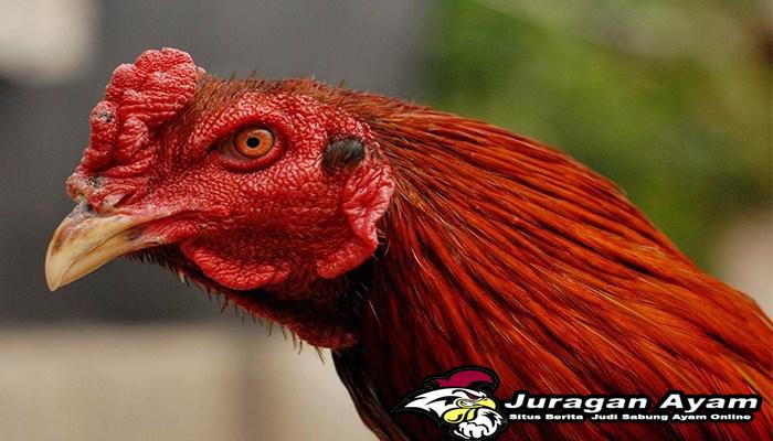 Merawat Mata Ayam Aduan Agar Sehat