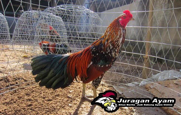 cara menyembuhkan penyakit kuning pada ayam aduan