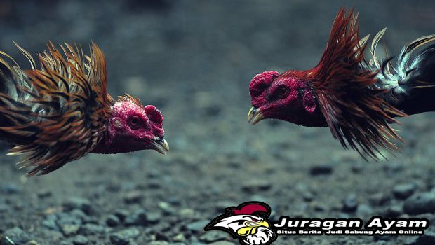 Arti Wala Dan Meron Dalam Sabung Ayam