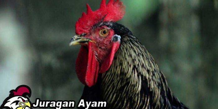 Ciri Dan Sejarah Munculnya Ayam Cubalaya