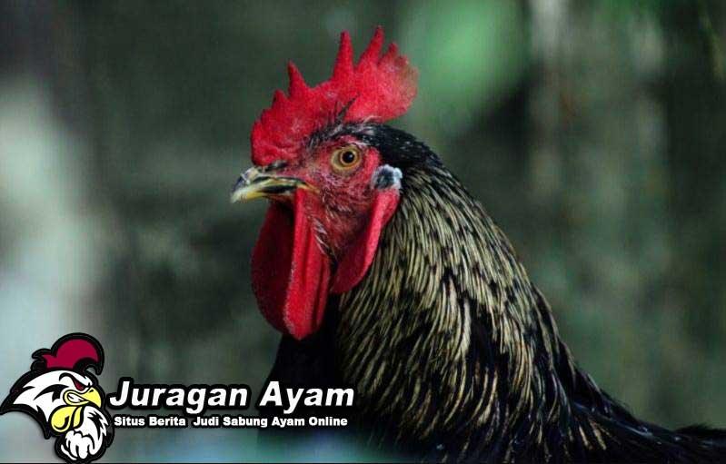 55 Gambar Ayam Pama Paling Keren