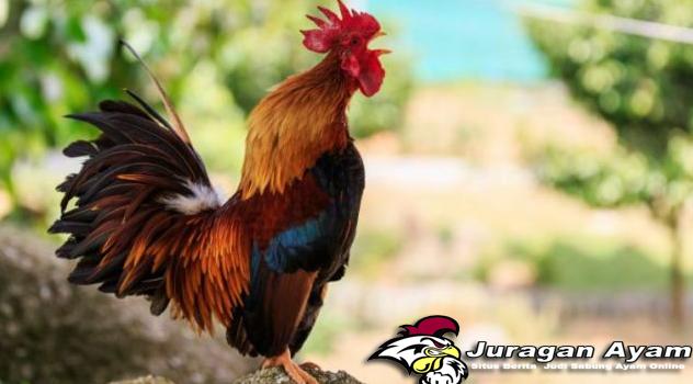 Beberapa Jenis Penyakit Ayam Birma Dan Cara Mengatasinya