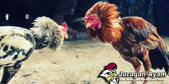 Tips Meperkuat Kuda-Kuda Ayam Aduan