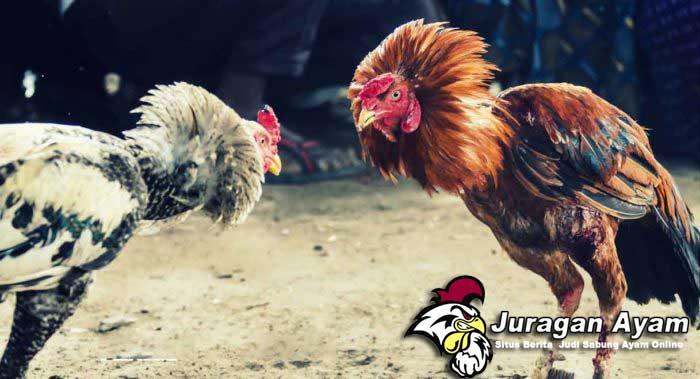 Ciri-ciri Ayam bangkok yang siap Bertarung
