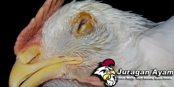 Cara Pencegahan Penyakit Tetelo Pada Ayam Bangkok