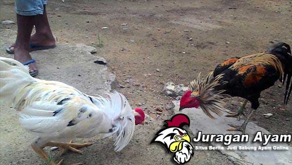 Kesalahan Perawatan Ayam Di Usia Muda