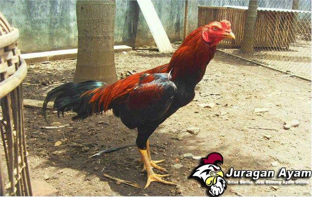 Tips Menang Judi Sabung Ayam Online