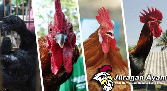 Beberapa Ayam Hias Yang Paling Banyak Diminati