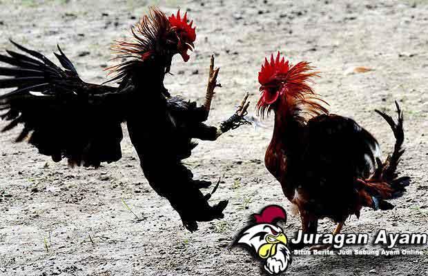 Beberapa Tips Memilih Bibit Ayam Bangkok Unggulan