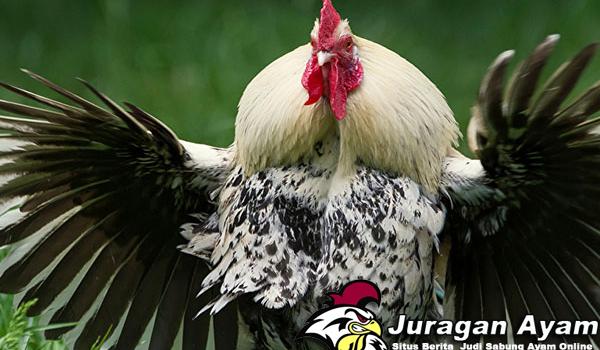 Kelebihan Ayam Vietnam Saat Bertarung