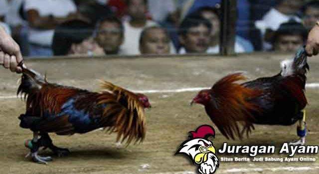 Cara Mengatasi Ayam Aduan Yang Belum Berani Bertarung