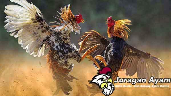 Cara Menghindari Penyakit Pada Ayam Aduan Bangkok
