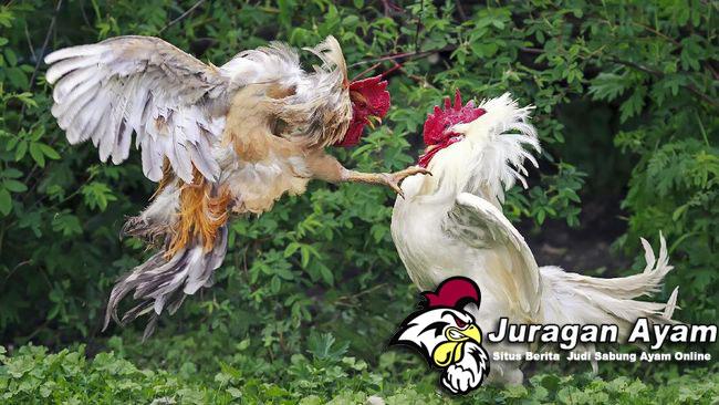 Beberapa Cara Pencegahan Penyakit Ayam Broiler
