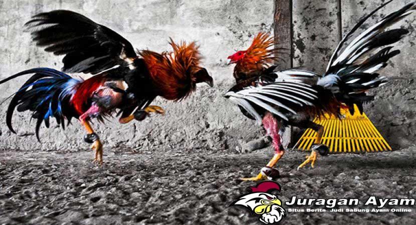 Faktor Penentu Kemenangan Ayam Aduan Di Arena