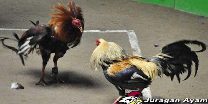 Beberapa Tips Membuat Bulu Ayam Bangkok Agar Terlihat Mengkilat