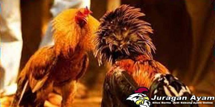 Trik Mudah Mengenali Teknik Dan Karakter Ayam Aduan