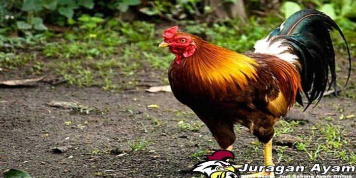 Tips Mengatasi Ayam Lumpuh Setelah Bertarung