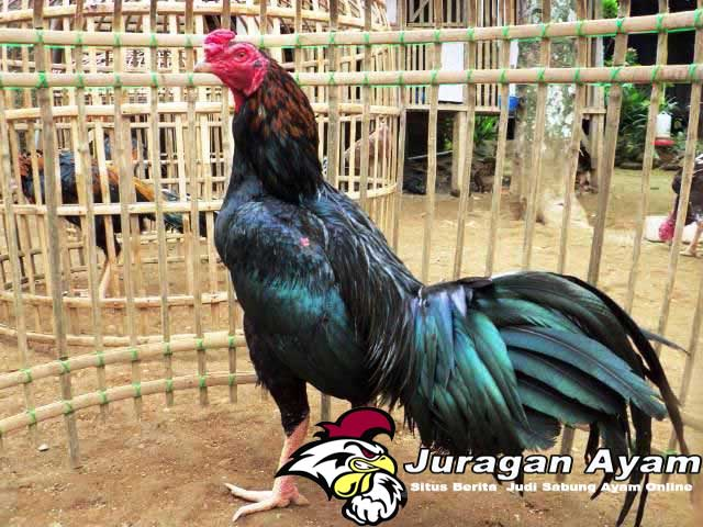 Beberapa Cara Merawat Anak Ayam yang Benar