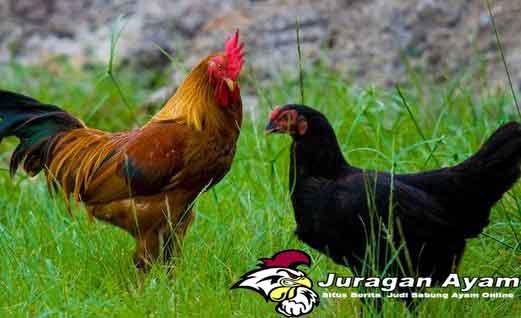 Manfaat Warna Bulu Ayam Di Dalam Dunia Sabung Ayam