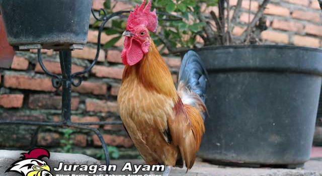 Ayam Petarung Yang Ditakuti Saat Ini