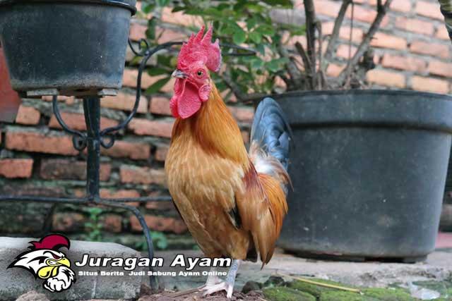 Beberapa Jenis Ayam Buras