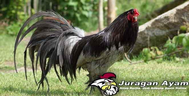 Beberapa Warna Bulu Ayam Aduan Paling Terkenal