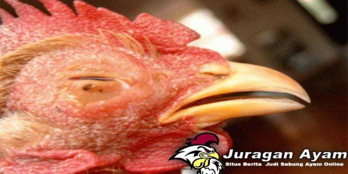 Penyebab dan Cara Mengobati Sakit Mata Pada Ayam Aduan