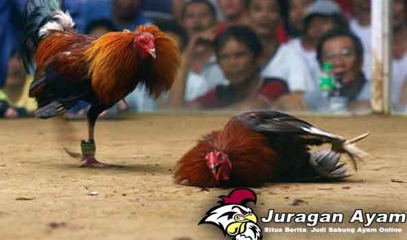 Cara Mengatasi Ayam Bangkok Yang Belum Berani Bertarung