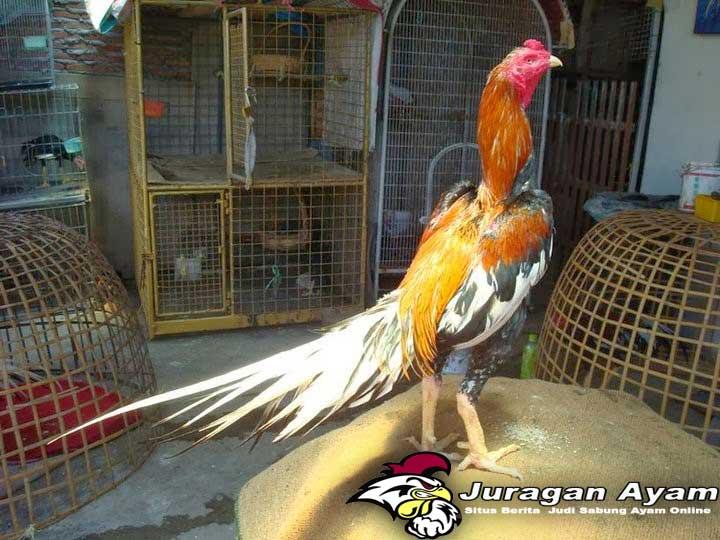 Beberapa Kecurangan Sabung Ayam di Arena Pertarungan