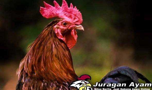 Berbagai Penyakit Berbahaya Ayam Aduan Dan Cara Menanganinya